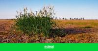 5,6 millones de hectáreas con malezas complicadas en Córdoba